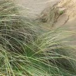 Marram grass in the Crigyll dunes