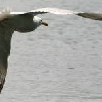 Herring Gull at Loe Beach