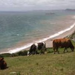 Cows above Branscombe beach