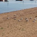 Seagulls on the beach, Herne Bay