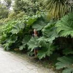 Gunnera on Tresco 2007
