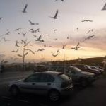 Gorleston: a flock of gulls descends