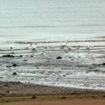 Swans on Dunster Beach