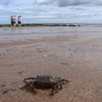 Crab on Carnoustie beach
