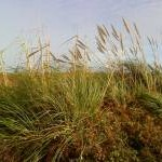 Pampas grass on Tresco