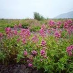 Red valerian growing on shingle beach
