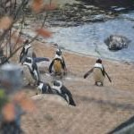 Torquay : Living Coasts - Penguins