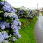 Blue Hydrangeas at Clarach Bay