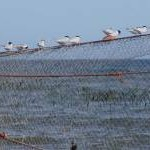 Terns on a fishing net, Lunan Bay