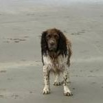 Springer Spaniel - After Playing in the Sea