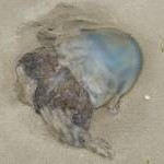 Huge washed-up jellyfish, Aberdyfi