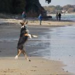 Studland: somersaulting dog on South Beach