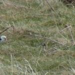 Snow buntings - rare winter visitors