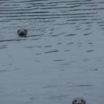 Grey Seals in the Harbour, Eyemouth