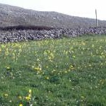 Cowslips at Fanore