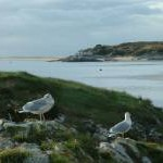 Herring Gulls on Careg Cnwc