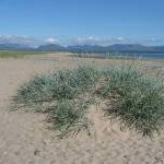 Marram Grass on Llanddwyn Beach